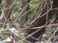 幸せの青い鳥★ルリビタキ - ぽかぽかな日々の暮らしと時々短歌~自然食品と雑貨の店 pokapoka のブログ~