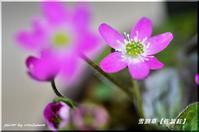 雪割草が咲いて春 2 (百合が原公園) - 北海道photo一撮り旅