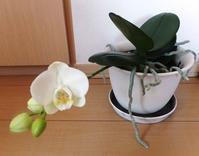 胡蝶蘭の開花 - ひまわり