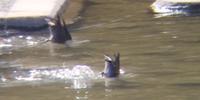 野鳥をスマホで撮影アーティスティックな泳ぎとは - 虫のひとりごと