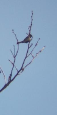 野鳥をスマホで撮影桜にいるのは誰 - 虫のひとりごと