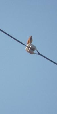 野鳥をスマホで撮影今日も朝から - 虫のひとりごと