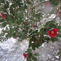 藪椿に雪(2/18) - アオモジノキモチ