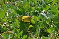 モンキチョウムラツ塒の変化 - 蝶のいる風景blog