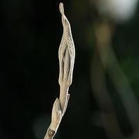 冬芽の名前当てクイズ A to Z(4) - 自然観察大学ブログ