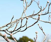 冬芽の名前当てクイズ A to Z(おまけ) - 自然観察大学ブログ
