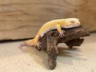 レオパ・ベルサングロー ♂ Geckos Etc - アクアマイティー最新入荷情報BLOG