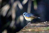 隣県の山城公園のルリビタキ - 私の鳥撮り散歩