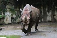 雨の上野動物園~ヒガシクロサイと鳴くコビトカバ「モミジ」(July 2020) - 続々・動物園ありマス。