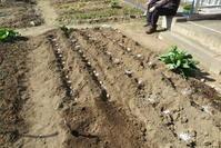 ジャガイモの種芋を埋め込みました - 光さんの日常2