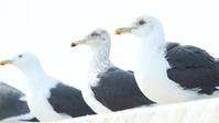 オオセグロカモメ - 北の野鳥たち