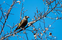菜食?中 - 趣味の野鳥撮影
