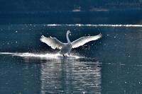 みちのく白鳥たち29 - みちのくの大自然