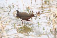 2021-032 ヒクイナ - 近隣の野鳥を探して2