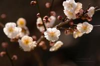 七分咲き - ぽとすのくずかごⅡ