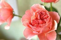 【flower photo】バラ「かおりかざり」 - 花色~あなたの好きなお花屋さんになりたい~