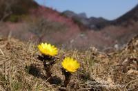 福寿草の里#1 - 風の彩りー3