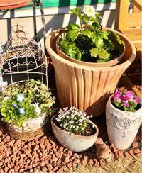 鉢バラに水苔♫そして夢中になって、気付いた事(*゚∀゚*) - 薪割りマコのバラの庭