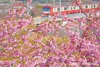 桜が満開ですよ〜 『三浦海岸河津桜 2021』③ - 写愛館