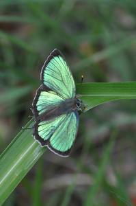 想い出の1枚の写真・・・ヒサマツミドリシジミ - 続・蝶と自然の物語