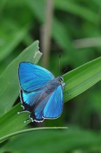 想い出の1枚の写真・・・ハヤシミドリシジミ - 続・蝶と自然の物語