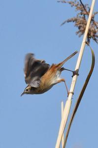 セッカ・・・・待ち時間の癒し - 阪南カワセミ【野鳥と自然の物語】