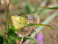 新生蝶と越冬蝶 - 風任せ自由人