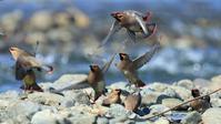 ヒレンジャクの水飲み - Life with Birds 3