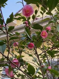 2月の庭vol.4 ミニ椿 - グリママの花日記