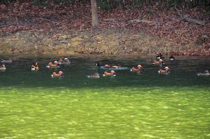 大きな池のオシドリ2月28日 -