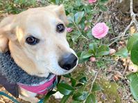 ピンクの椿とニラを探せ - 犬と楽しむスローライフ
