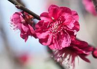 梅の花 - 大山山麓、山、滝、鉄道風景