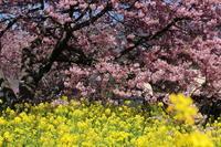 河津桜を見に行きました。(第31回河津桜まつり中止) - エブリーのひとり言