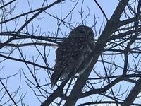 Barred Owl(梟) - ののち幾星霜