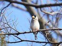 コイカルを探しに!SGH - シエロの野鳥観察記録