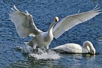 みちのく白鳥たち30 - みちのくの大自然