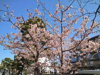 鎌倉の桜&単身です - 黒猫屋のにくきゅう