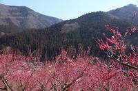 紅梅に華やぐ山里 - 風の彩りー3