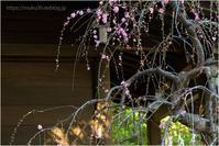 ピンクの枝垂れ梅 - muku3のフォトスケッチ