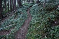 バイカオウレンの群生の花園十津川村 - 峰さんの山あるき