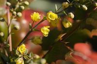 ■春を探しに (3)21.2.24(ヒイラギナンテン、ホトケノザ、オイヌノフグリ) - 舞岡公園の自然2