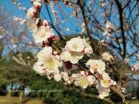 「ここにも咲いてた梅の花」 - 私の心の日記箱 Vol.0