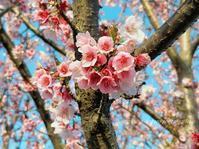 「ウォーキングコースの寒桜」 - 私の心の日記箱 Vol.0