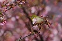 河津桜(2021年2月25日) - ほとんど野鳥写真日記
