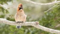 ミヤマカケス - 北の野鳥たち