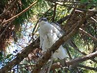 舞い戻った大鷹雄は悠然と木どまり中ZMY - シエロの野鳥観察記録