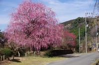 西吉野賀名生枝垂れ梅 - ぶらり記録 2:奈良・大阪・・・