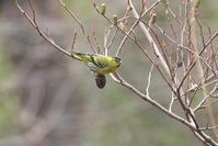 2021-033 マヒワ part3 - 近隣の野鳥を探して2