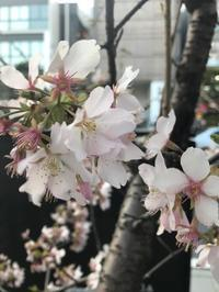 私の暮らしの中で最初に咲く桜 - 海辺のセラピストは今日も上機嫌!