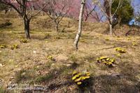 福寿草の里#2 - 風の彩りー3